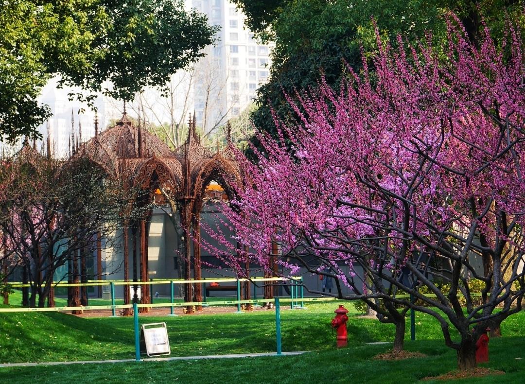 上海静安雕塑公园的樱花